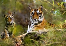 On the footsteps of the Tiger